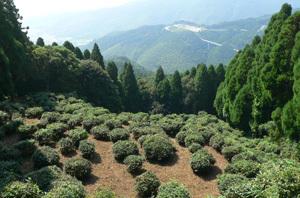 霊仙寺の茶園.jpg